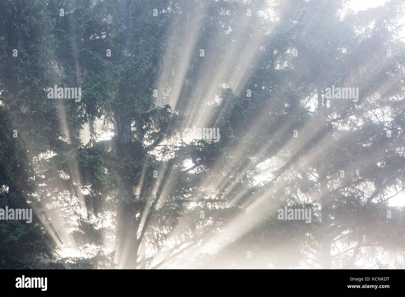 Soft light radiates from behind a tree on Chesterman Beach - Stock Image