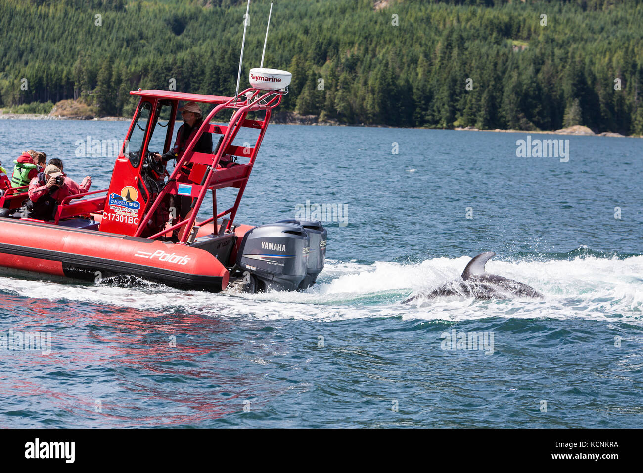 A Pacific White Sided Dolphin travels in the wake of a Zodiak on tour in Johnstone Strait. - Stock Image