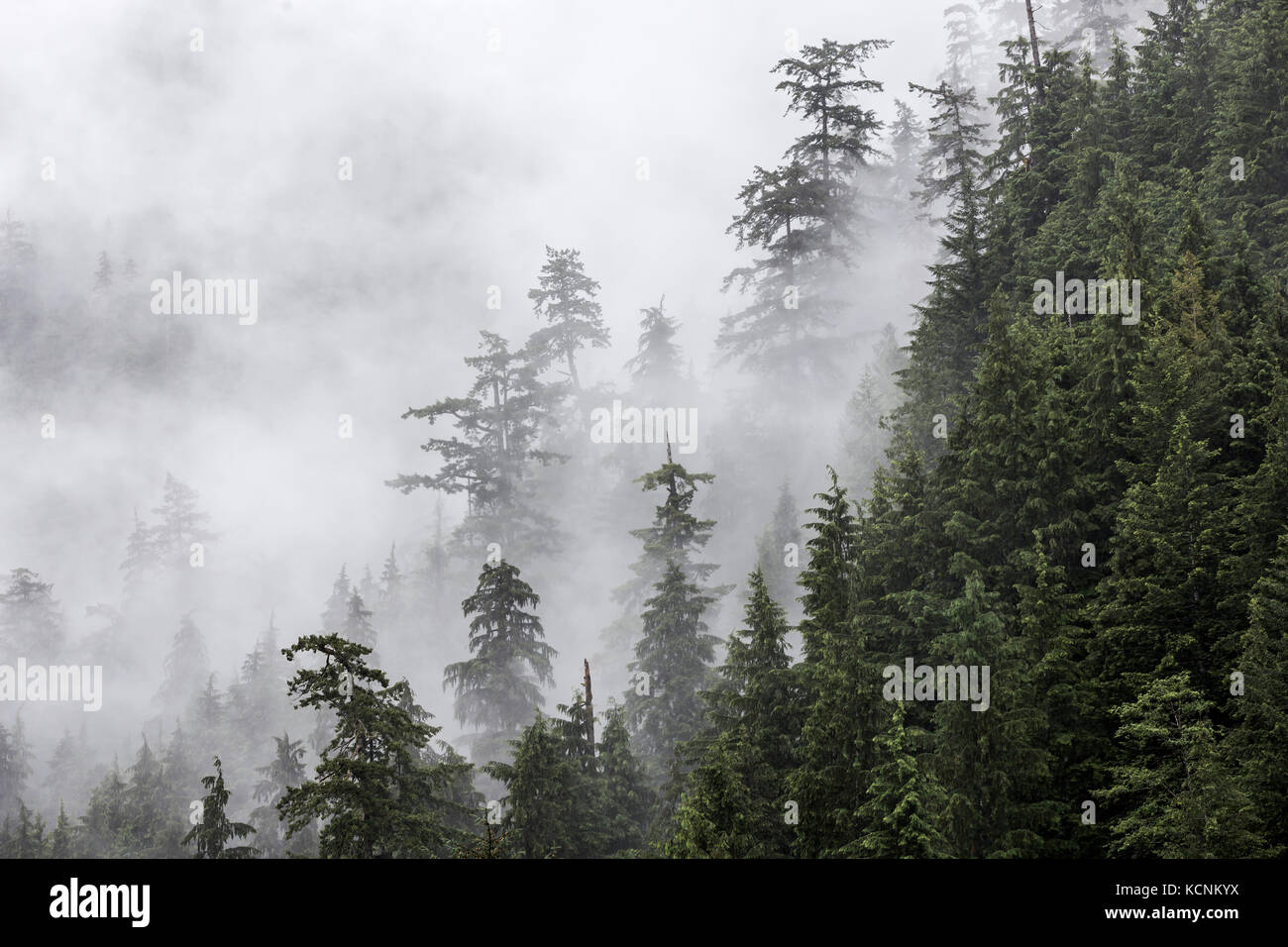 Mist enshrouded trees along a hillside evoke an ethereal presence, the quintessential Coastal scenic, Vancouver - Stock Image