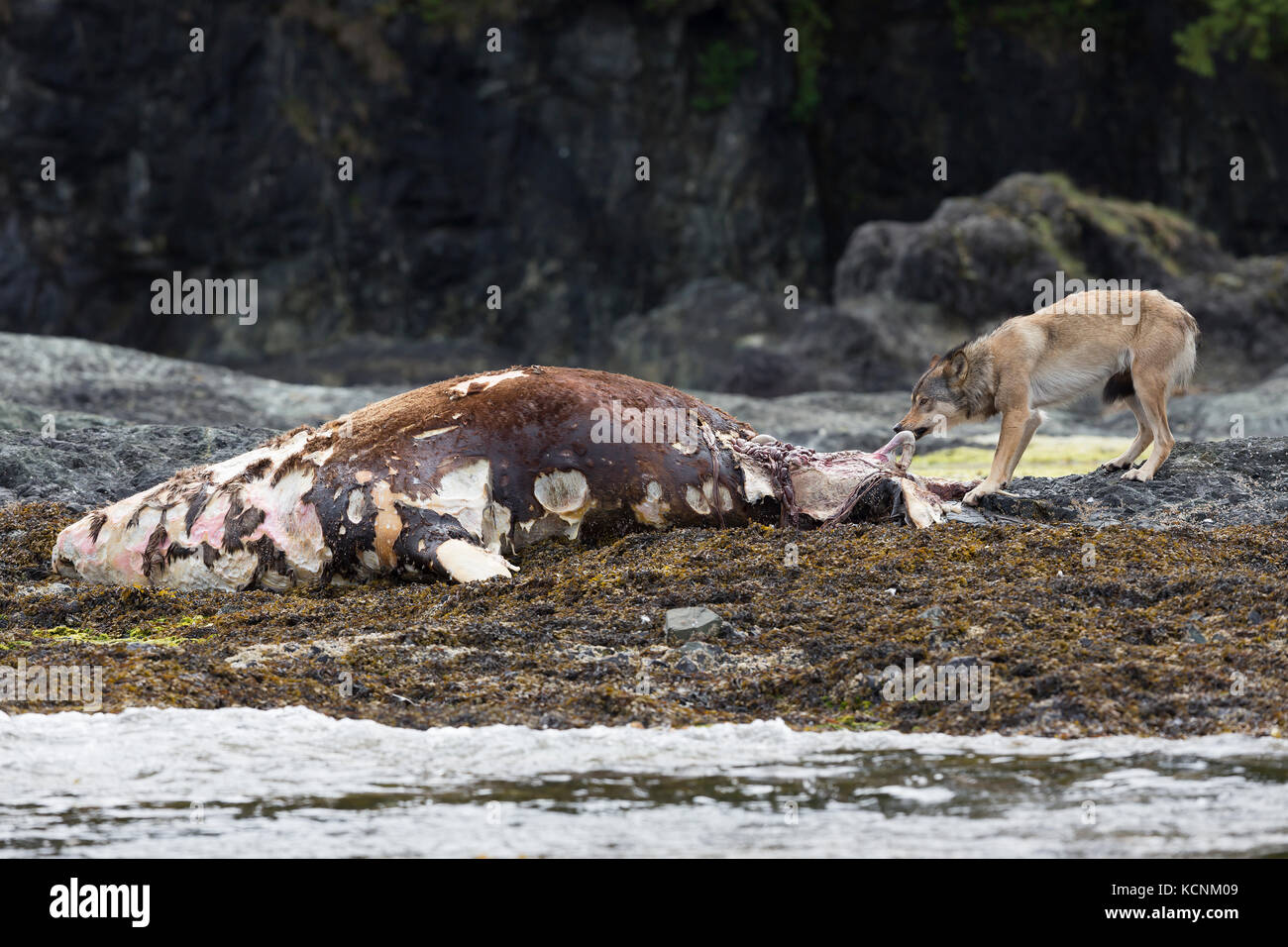 A wolf feeds on the dead carcass of a Stellar sea lion washed up on an island near Kyuquot.  Vancouver Island, British - Stock Image