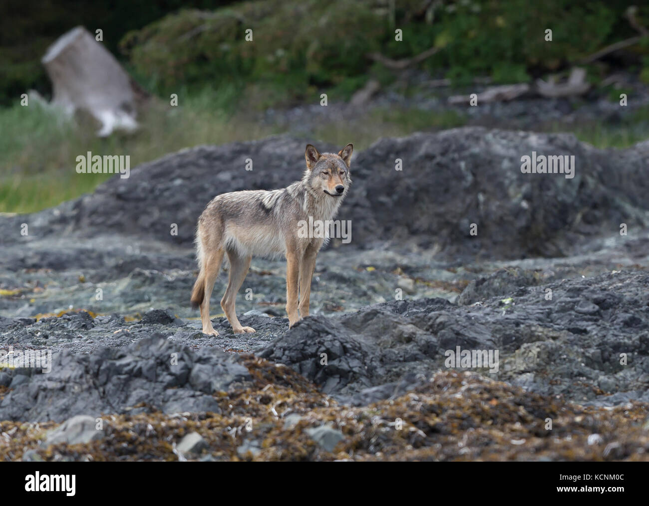 A Vancouver Island wolf pauses while walking along the shoreline on an island near Kyuquot, Vancouver Island, British - Stock Image
