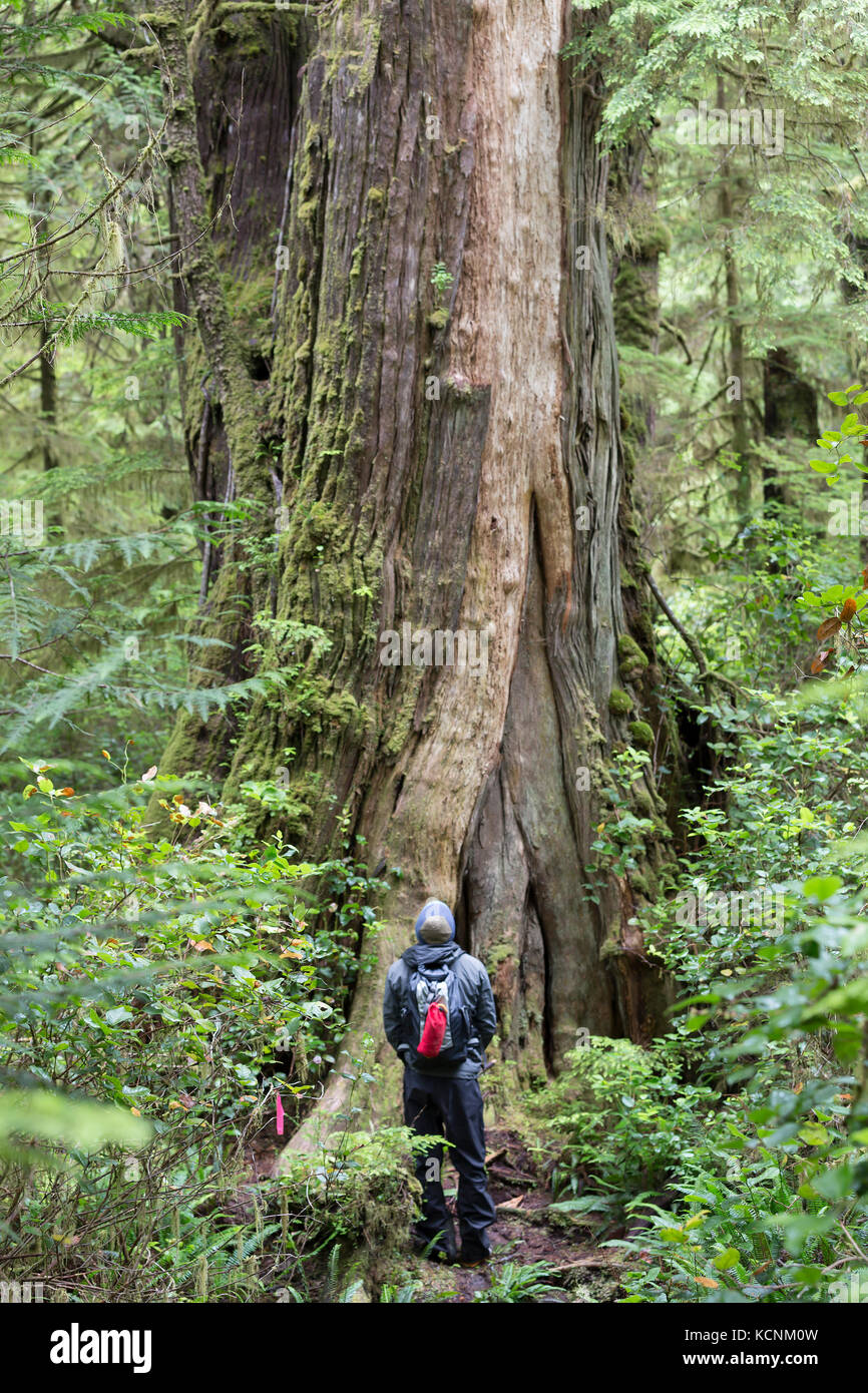 Huge trees on Spring Island rival old growth forests found along the coastal areas of Vancouver Island.  Spring - Stock Image
