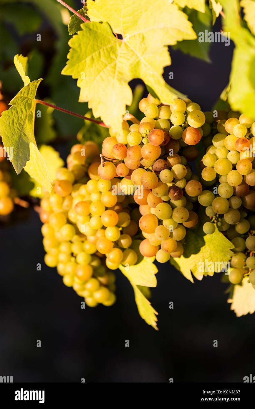 Colorful varieties of grapes ready for harvesting hang from the vine, at the Blue Grouse winery located in the Cowichan - Stock Image