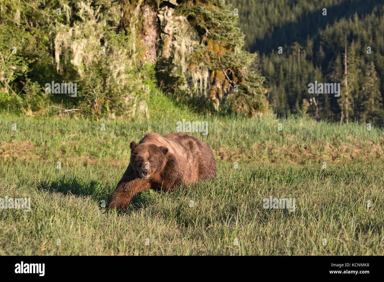 Grizzly bear (Ursus arctos horriblis), large scarred male, eating Lyngbye's sedge (Carex lyngbye),  Kwinimass - Stock Image