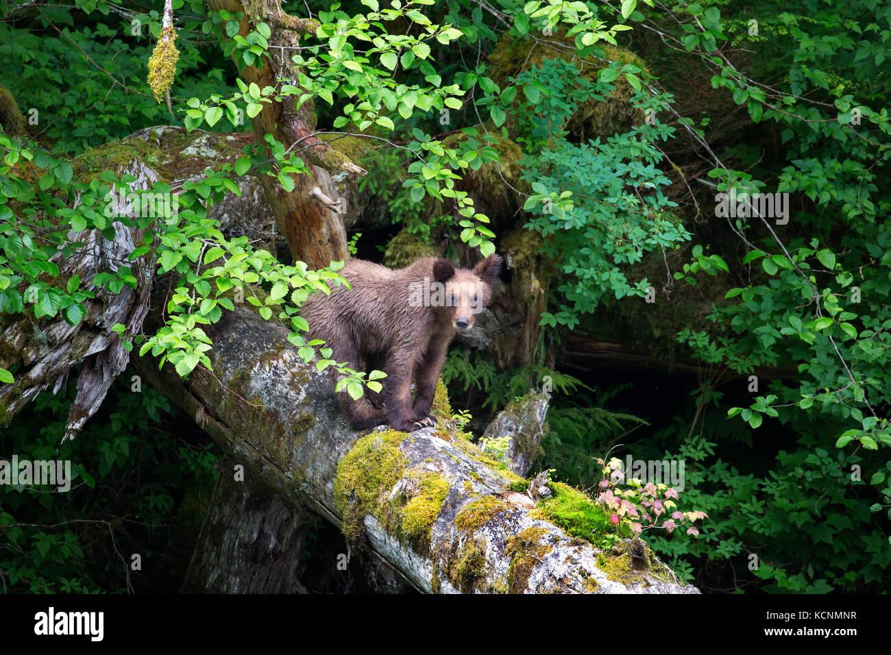Grizzly bear (Ursus arctos horriblis), yearling cub on log, Khutzeymateen Grizzly Bear Sanctuary, British Columbia, - Stock Image