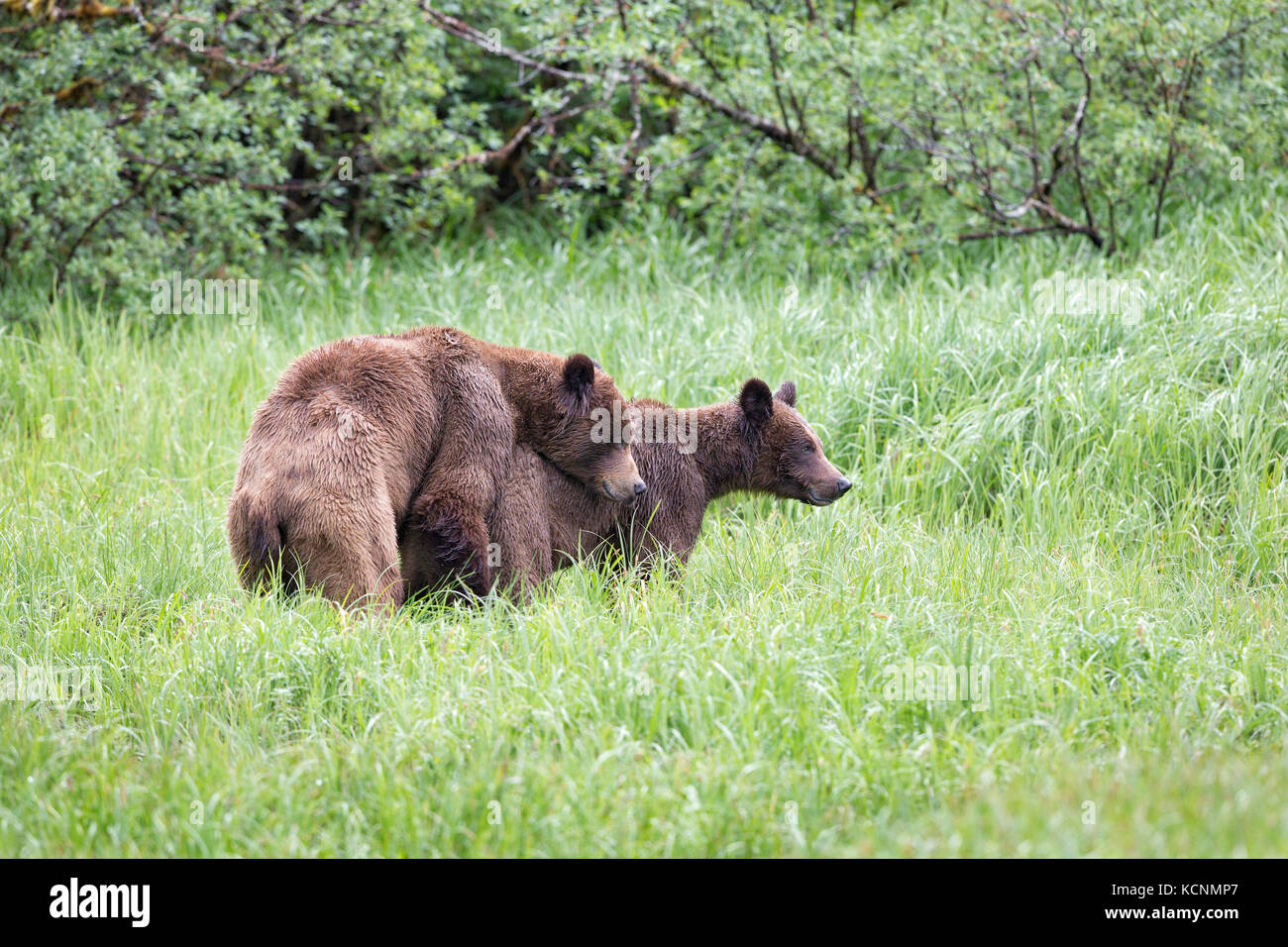 Grizzly bear (Ursus arctos horribilis), young male (left) and female courting, Khutzeymateen Inlet, Khutzeymateen - Stock Image