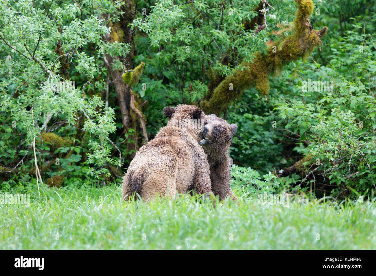 Grizzly bear (Ursus arctos horribilis), young male (left) and female courting, Khutzeymateen Inlet, Khutzeymateen - Stock Image