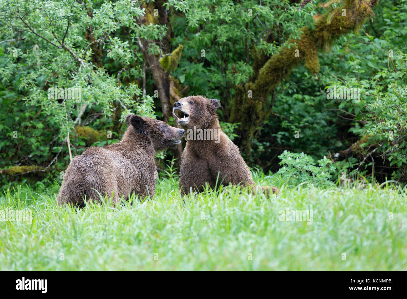 Grizzly bear (Ursus arctos horribilis), young male (right) and female courting, Khutzeymateen Inlet, Khutzeymateen - Stock Image