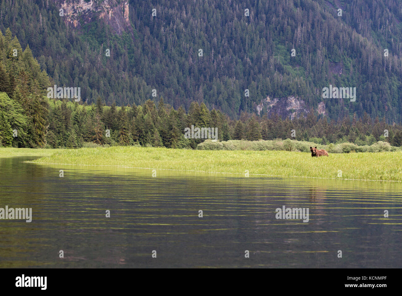Grizzly bear (Ursus arctos horriblis), eating Lyngbye's sedge (Carex lyngbyei), Khutzeymateen Grizzly Bear Sanctuary, - Stock Image