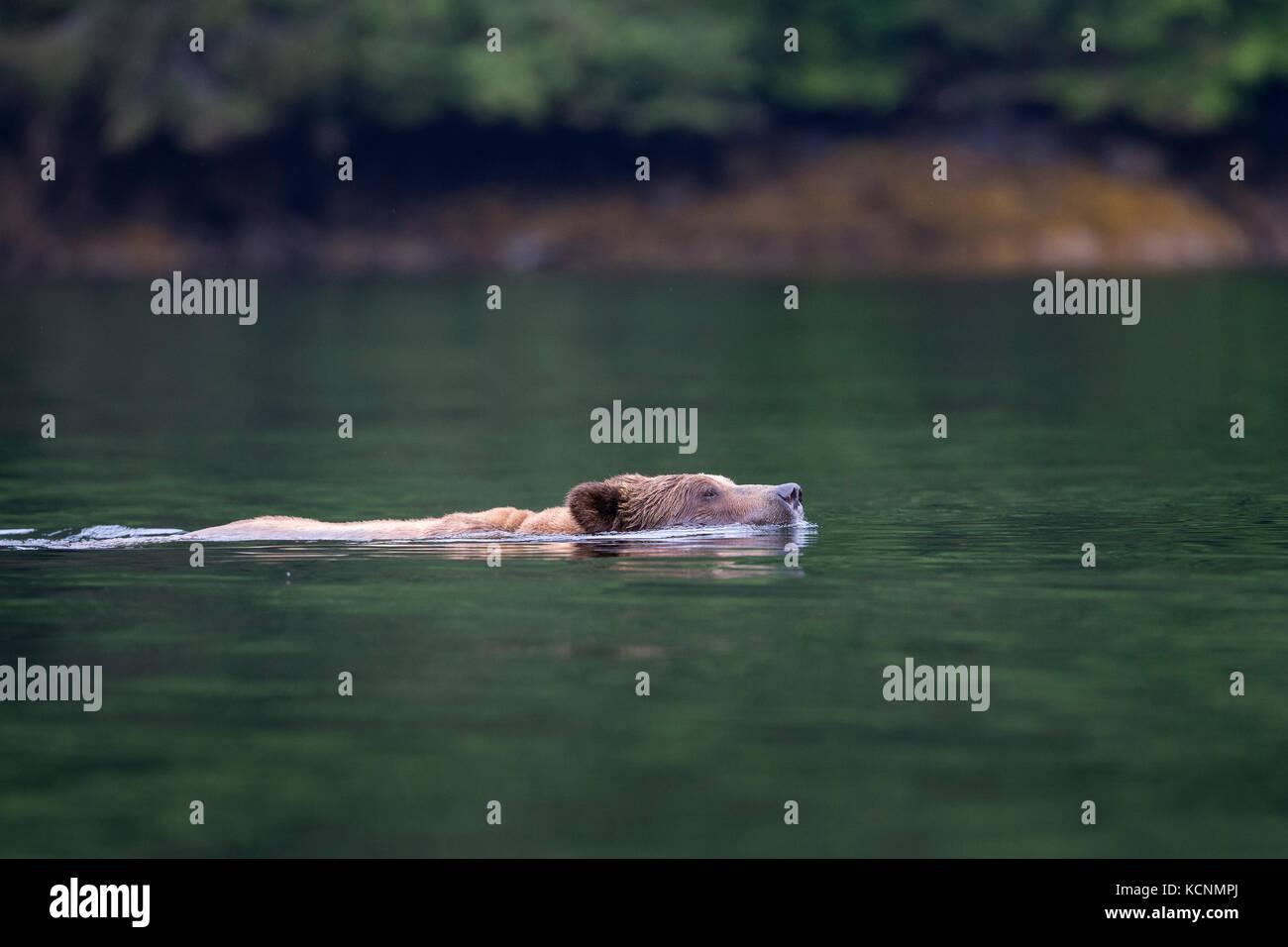 Grizzly bear (Ursus arctos horribilis), large male, swimming, Khutzeymateen Inlet, Khutzeymateen Grizzly Bear Sanctuary, - Stock Image