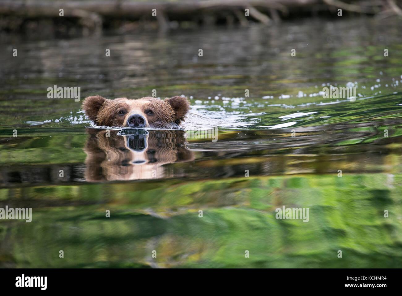 Grizzly bear (Ursus arctos horribilis), large male, swimming, Khutzeymateen Grizzly Bear Sanctuary, British Columbia, - Stock Image