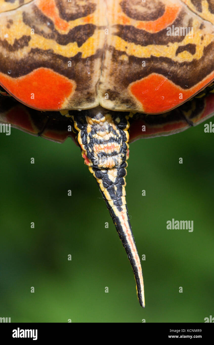 Western painted turtle (Chrysemys picta bellii), female, Nicomen Slough, Agassiz, British Columbia, Canada.  The - Stock Image