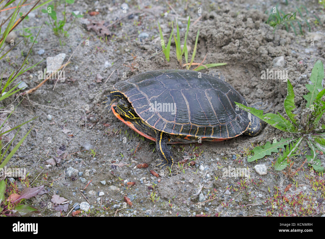 Western painted turtle (Chrysemys picta bellii), female using her hind legs to fill in her nest cavity where she - Stock Image