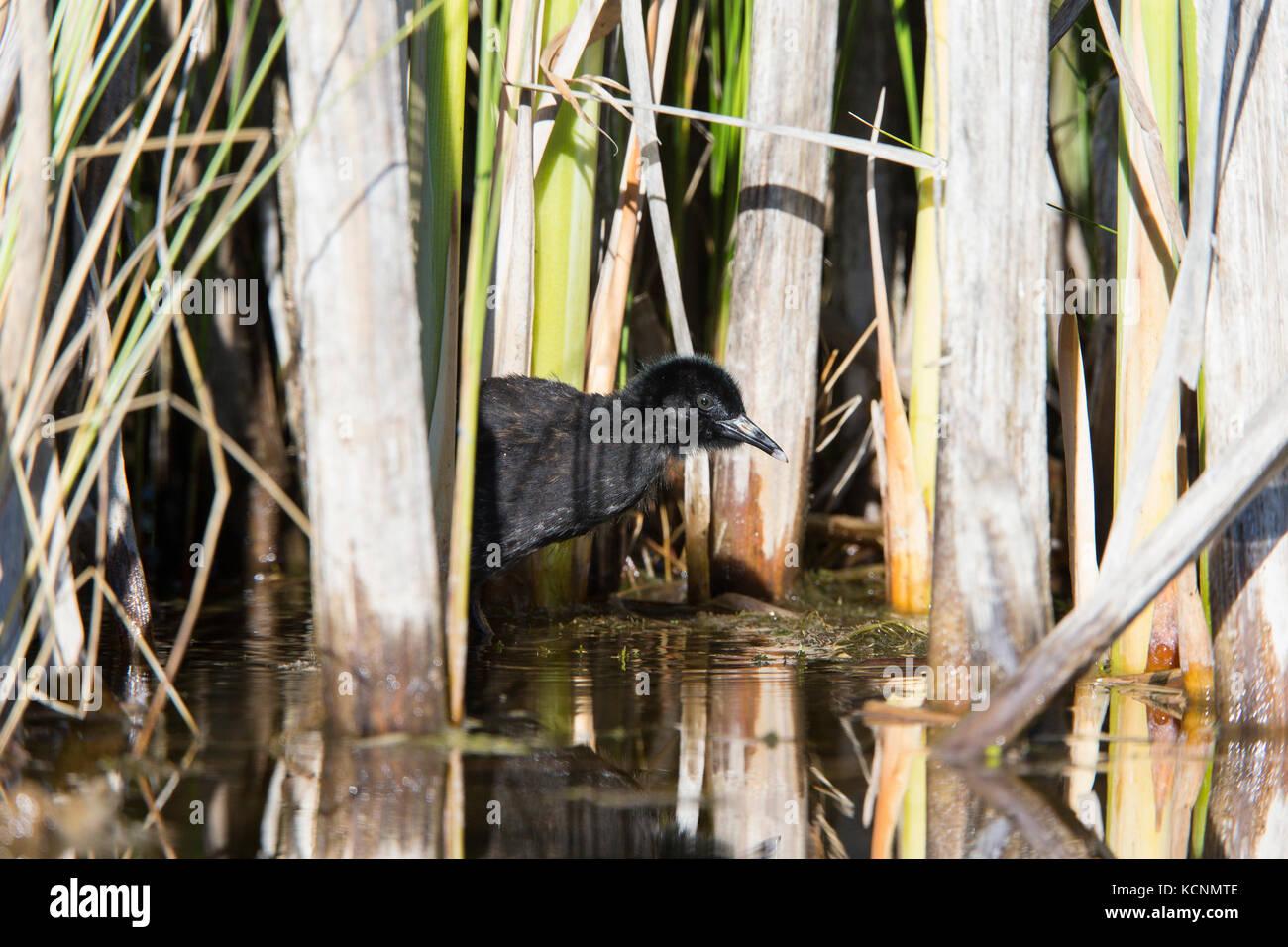 Virginia rail (Rallus limicola), chick, Lac Le Jeune, British Columbia, Canada - Stock Image