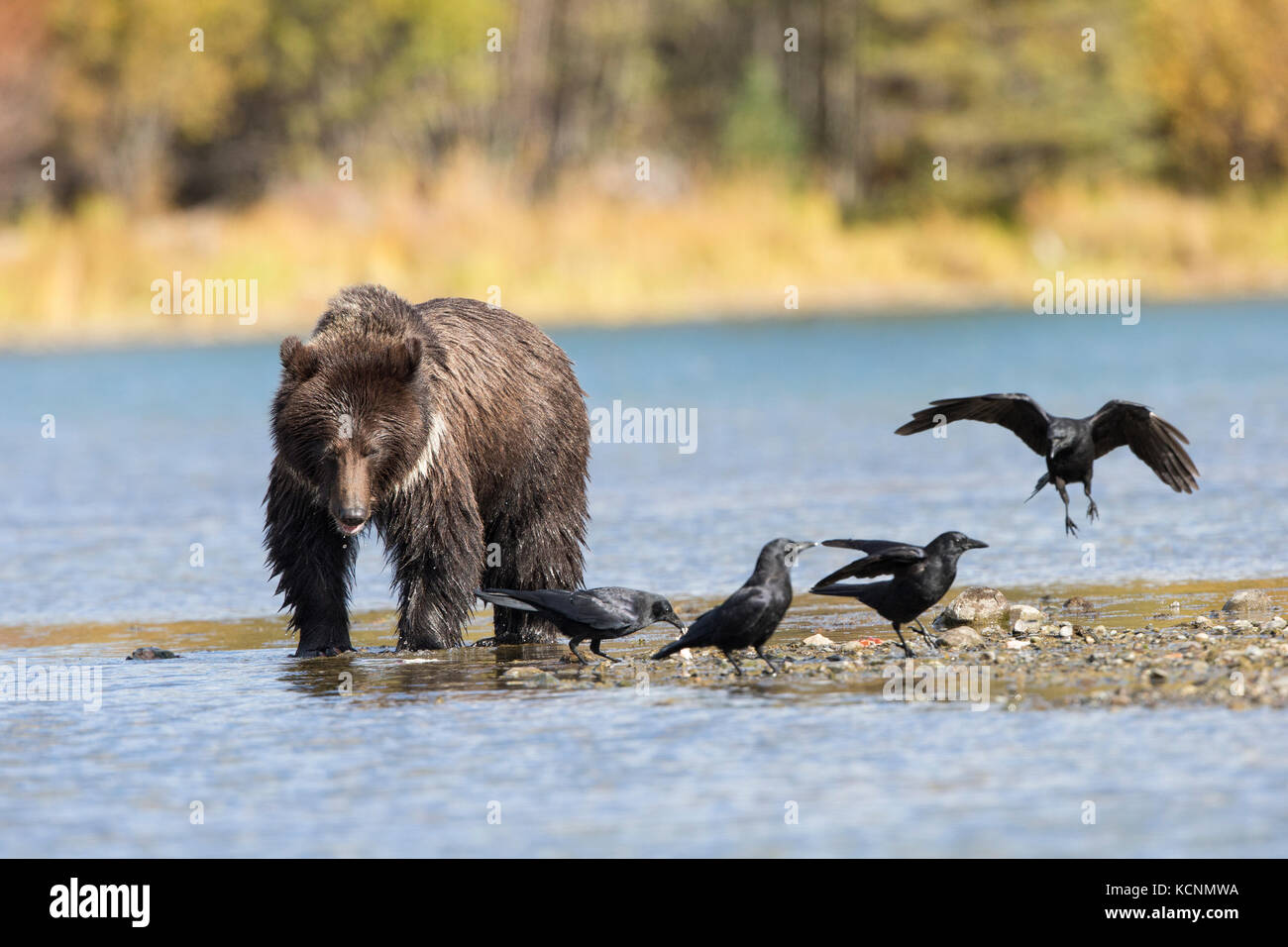 Grizzly bear (Ursus arctos horribilis), two-year old cub eating sockeye salmon (Oncorhynchus nerka) and scavenging - Stock Image