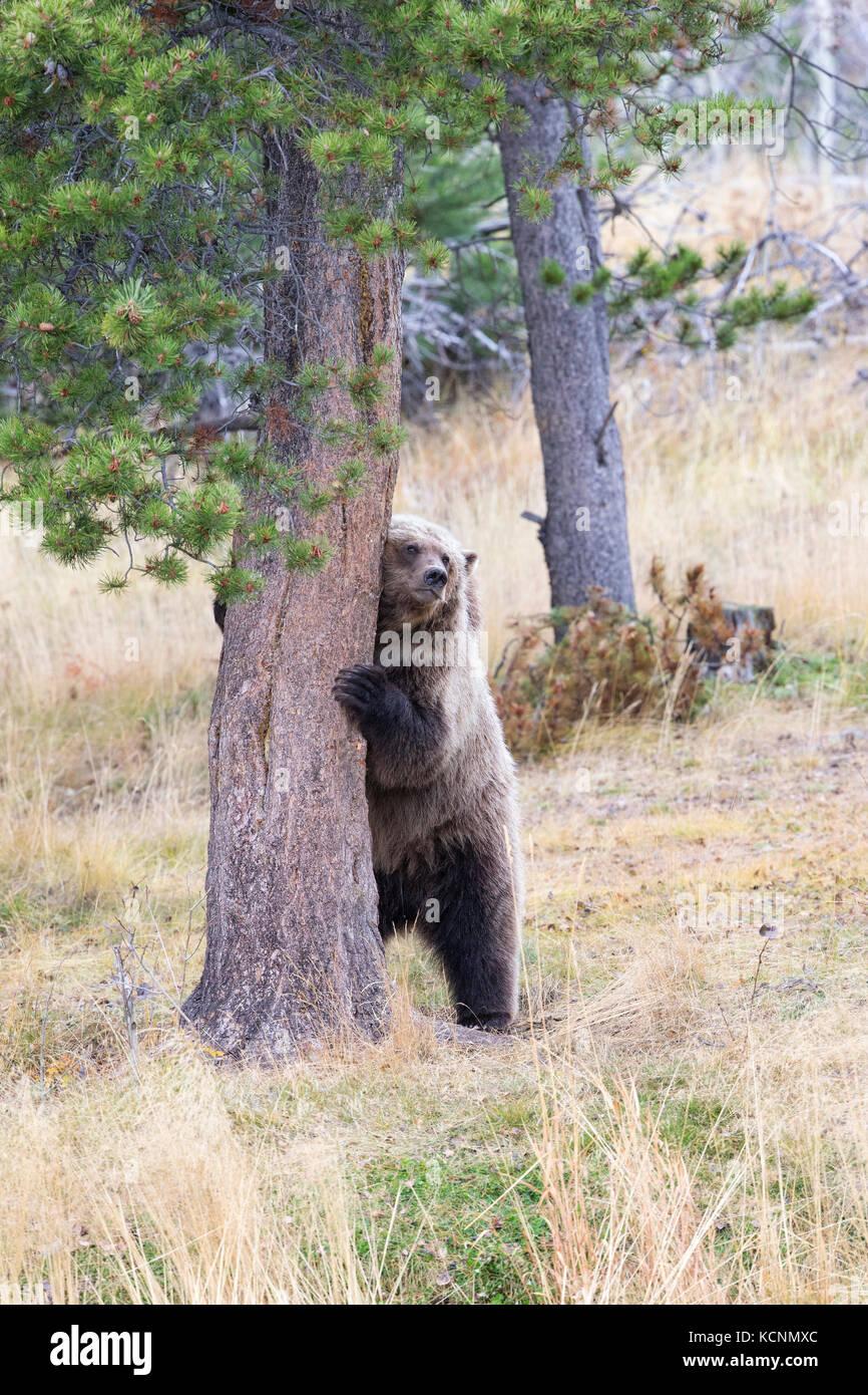 Grizzly bear (Ursus arctos horribilis), two-year old cub rubbing on Ponderosa pine (Pinus ponderosa), Chilcotin - Stock Image