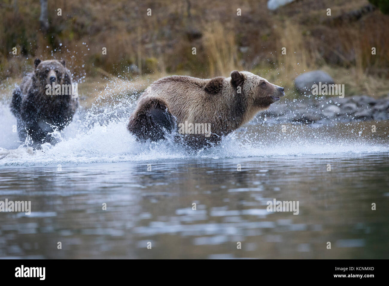 Grizzly bear (Ursus arctos horribilis), female chasing subdault (lighter cloloured) away from her cubs (off camera), - Stock Image