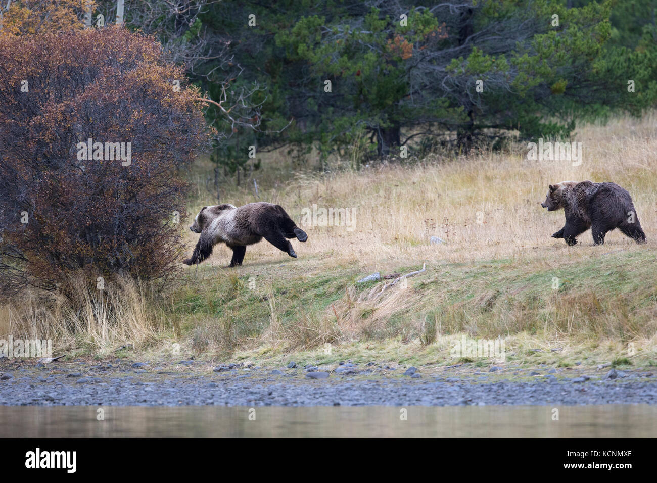 Grizzly bear (Ursus arctos horribilis), subadult (left) running from female who is chasing the subadult away from - Stock Image
