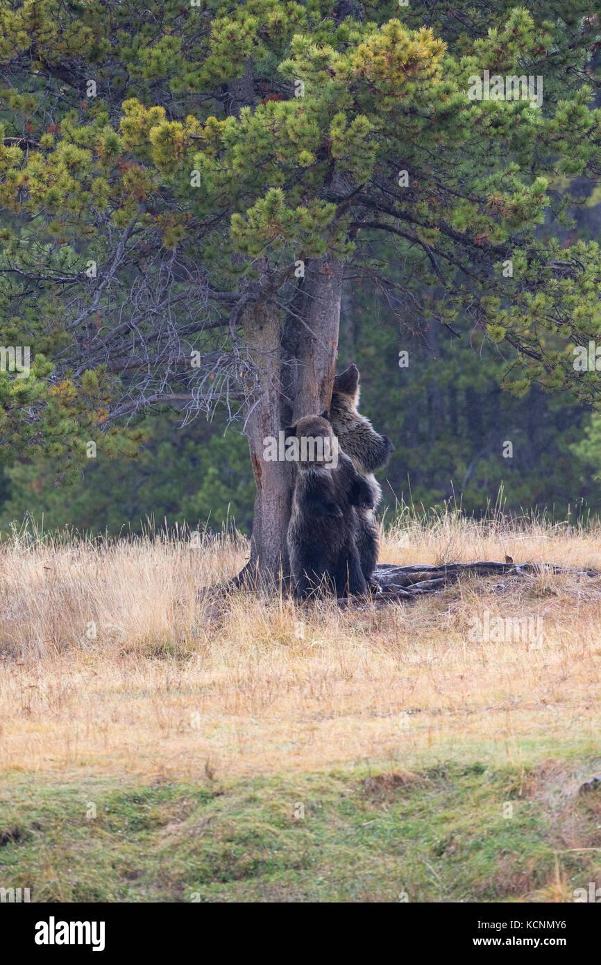 Grizzly bear (Ursus arctos horribilis), cubs at rubbing tree (Ponderosa pine - Pinus ponderosa), Chilcotin Region, - Stock Image