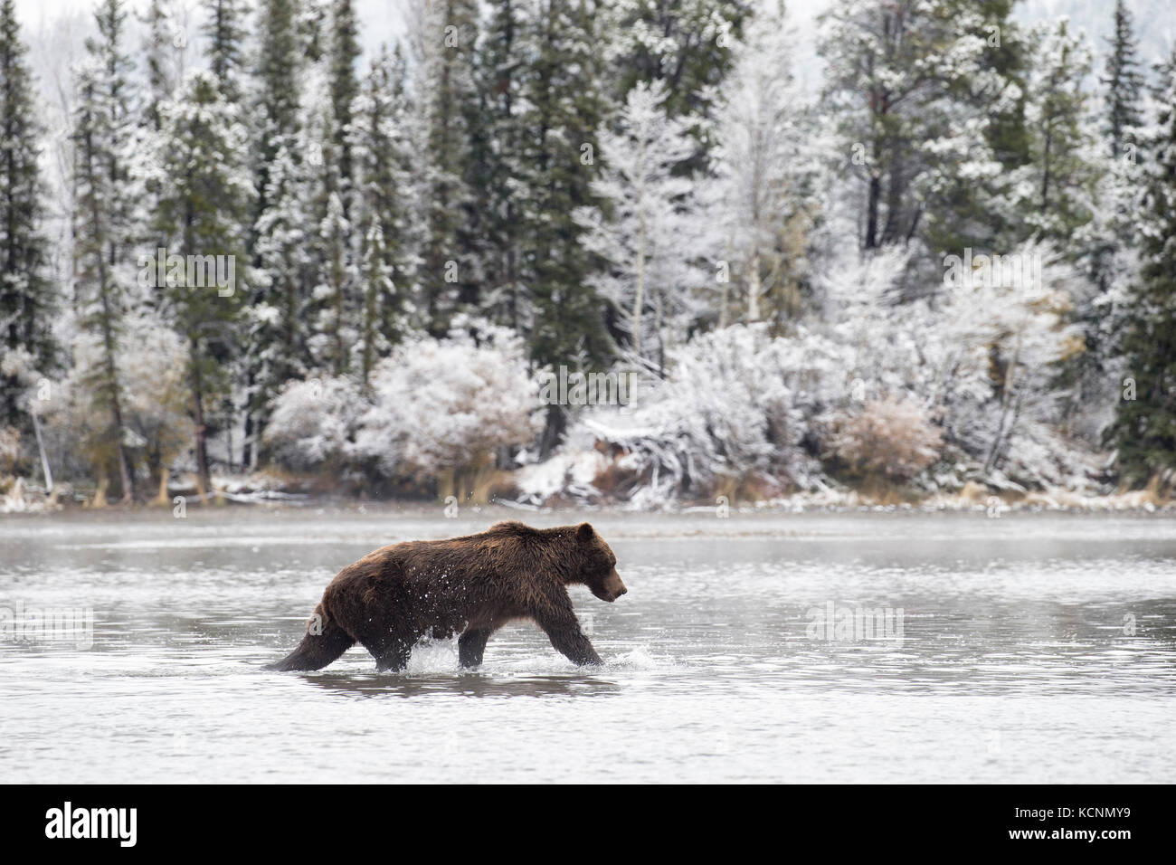 Grizzly bear (Ursus arctos horribilis), male in early snowfall, Chilcotin Region, British Columbia, Canada. - Stock Image