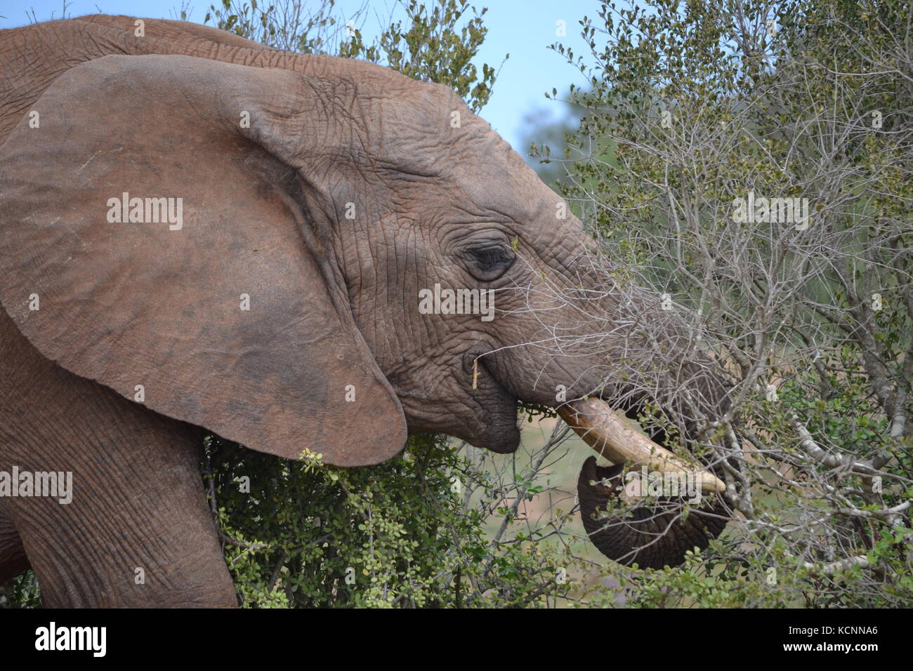 Afternoon snacks in the African Bushveld - Stock Image
