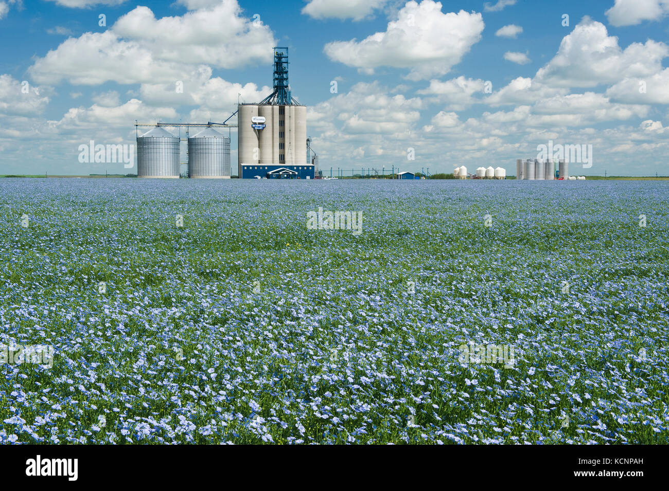 flax in front of an inland grain terminal, Grenfell, Saskatchewan, Canada - Stock Image