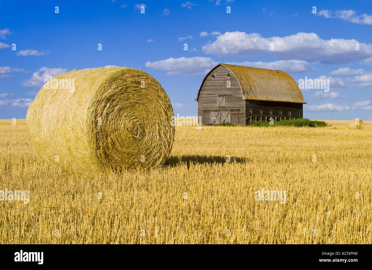 old barn and round durum wheat straw bale near Ponteix, Saskatchewan, Canada - Stock Image