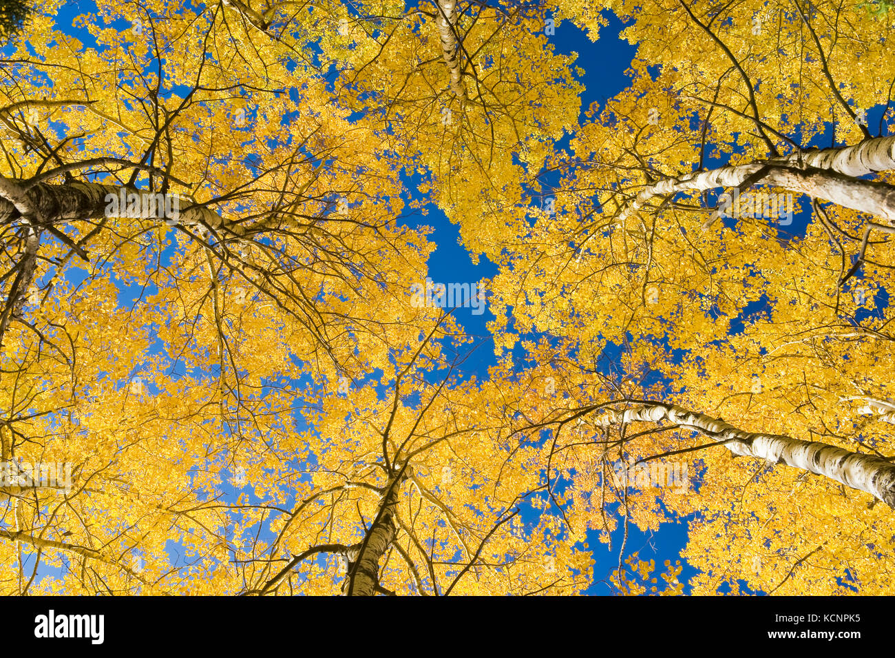 autumn colours on aspen trees, Duck Mountain Provincial Park, Manitoba, Canada - Stock Image