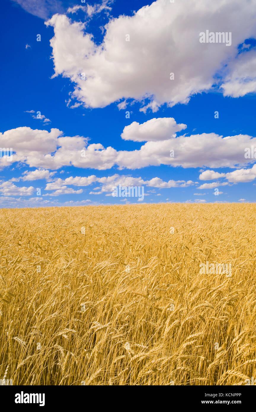 a mature, harvest ready durum wheat field, near Ponteix, Saskatchewan, Canada - Stock Image