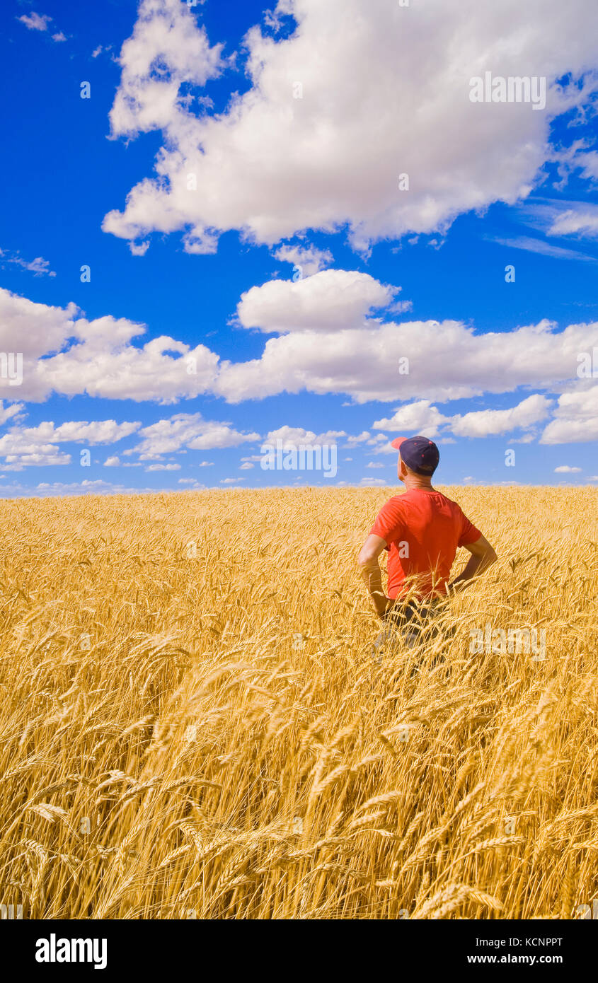 a man in a mature, harvest ready durum wheat field, near Ponteix, Saskatchewan, Canada - Stock Image