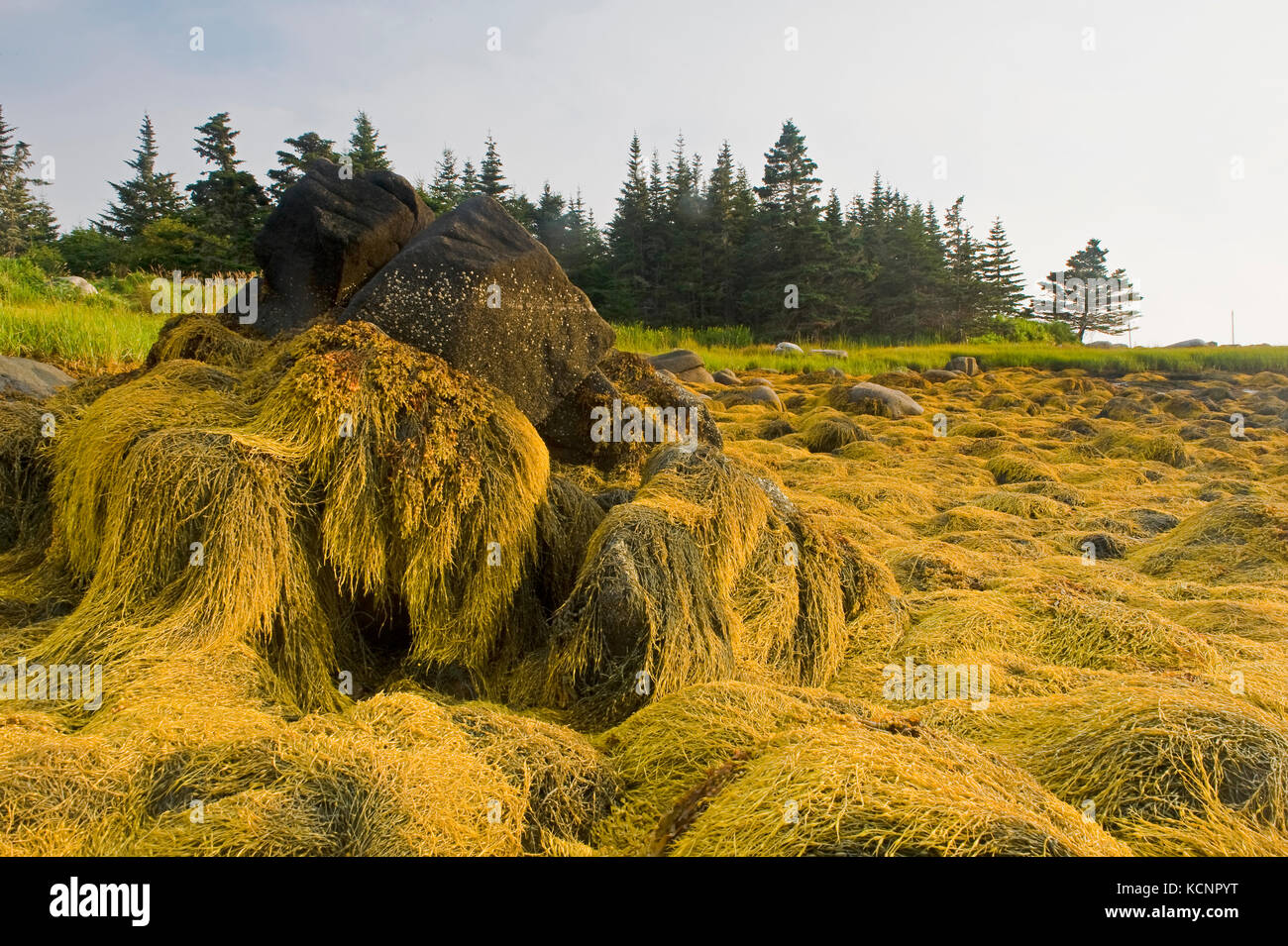 rockweed at low tide along the Bay of Fundy, Bear Point, Nova Scotia, Canada - Stock Image