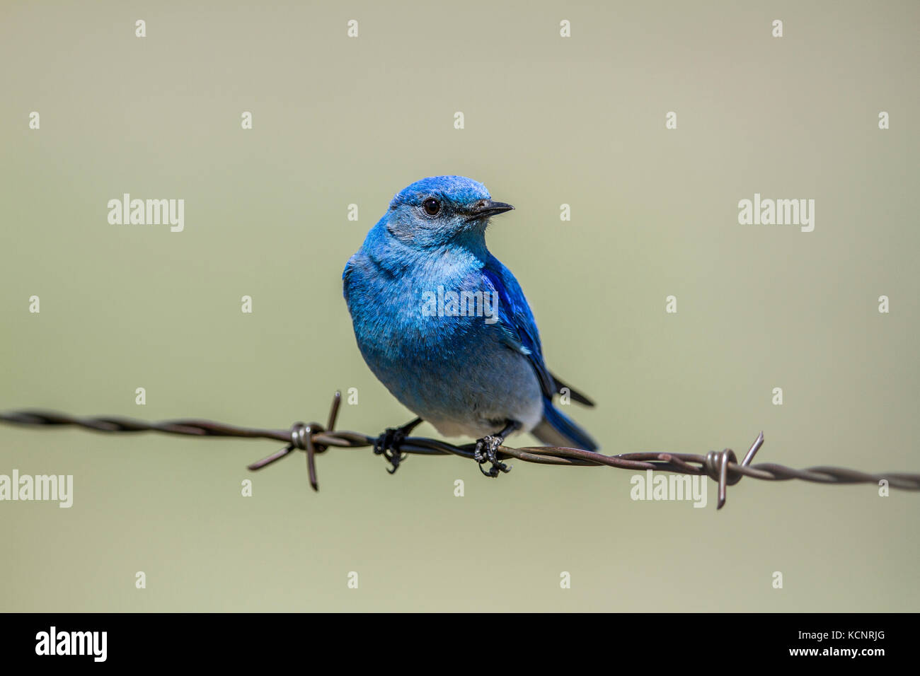 Mountain Bluebird (Sialia currucoides) Beautiful and pretty,  the colorful male bluebird sitting on barbed wire - Stock Image