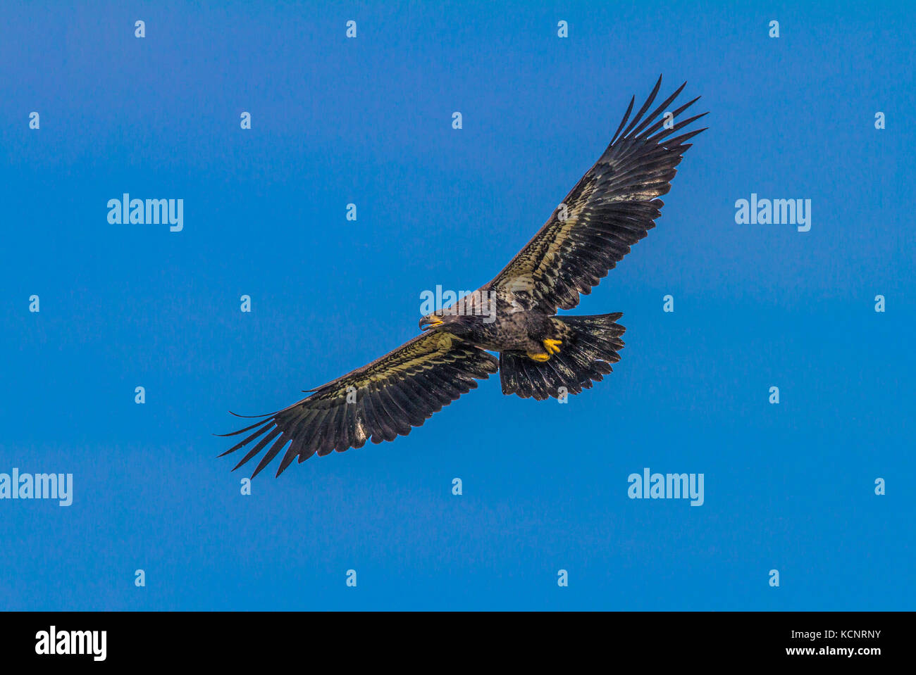 Golden Eagle (Aquila chrysaetos) Full wing span, as eagle soars, In search of food., Cranbrook, British, Columbia, - Stock Image