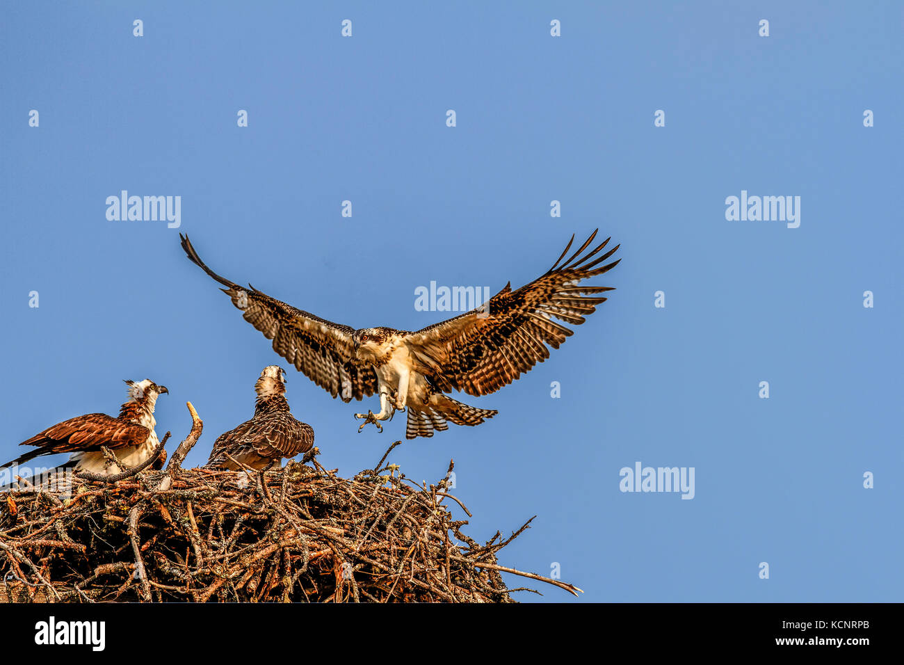 Osprey (Pandion haliaetus) Pair of siblings, peched on nest, watch as father lands on nest. Cranbrook, British, - Stock Image