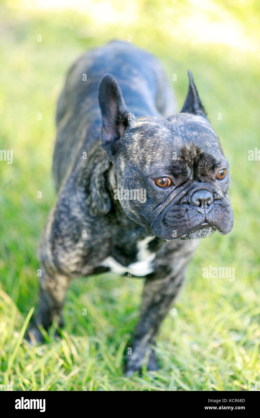 French Bulldog Brindle Male Portrait. - Stock Image