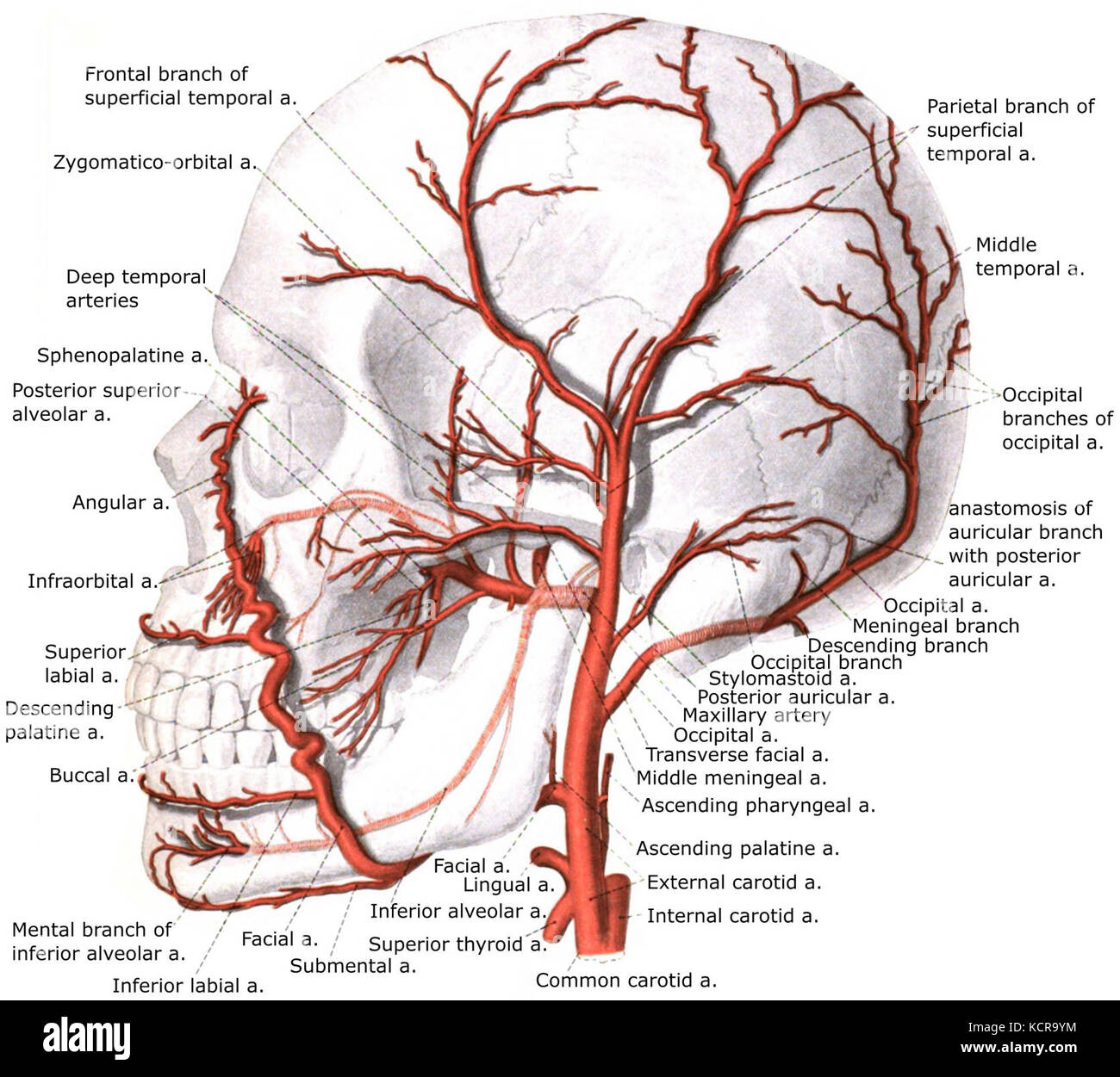 External carotid artery with branches Stock Photo: 162781912 - Alamy