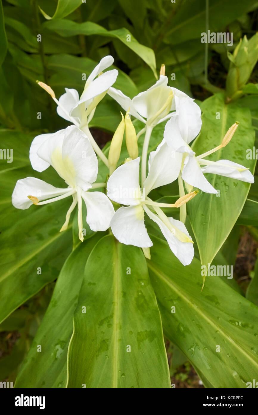 White Mariposa Lily Stock Photos White Mariposa Lily Stock Images