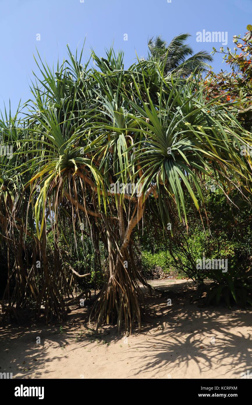 Bentota Sri Lanka Pandanus Tree (Pandanus Tectorius) wih Prop Roots - Stock Image
