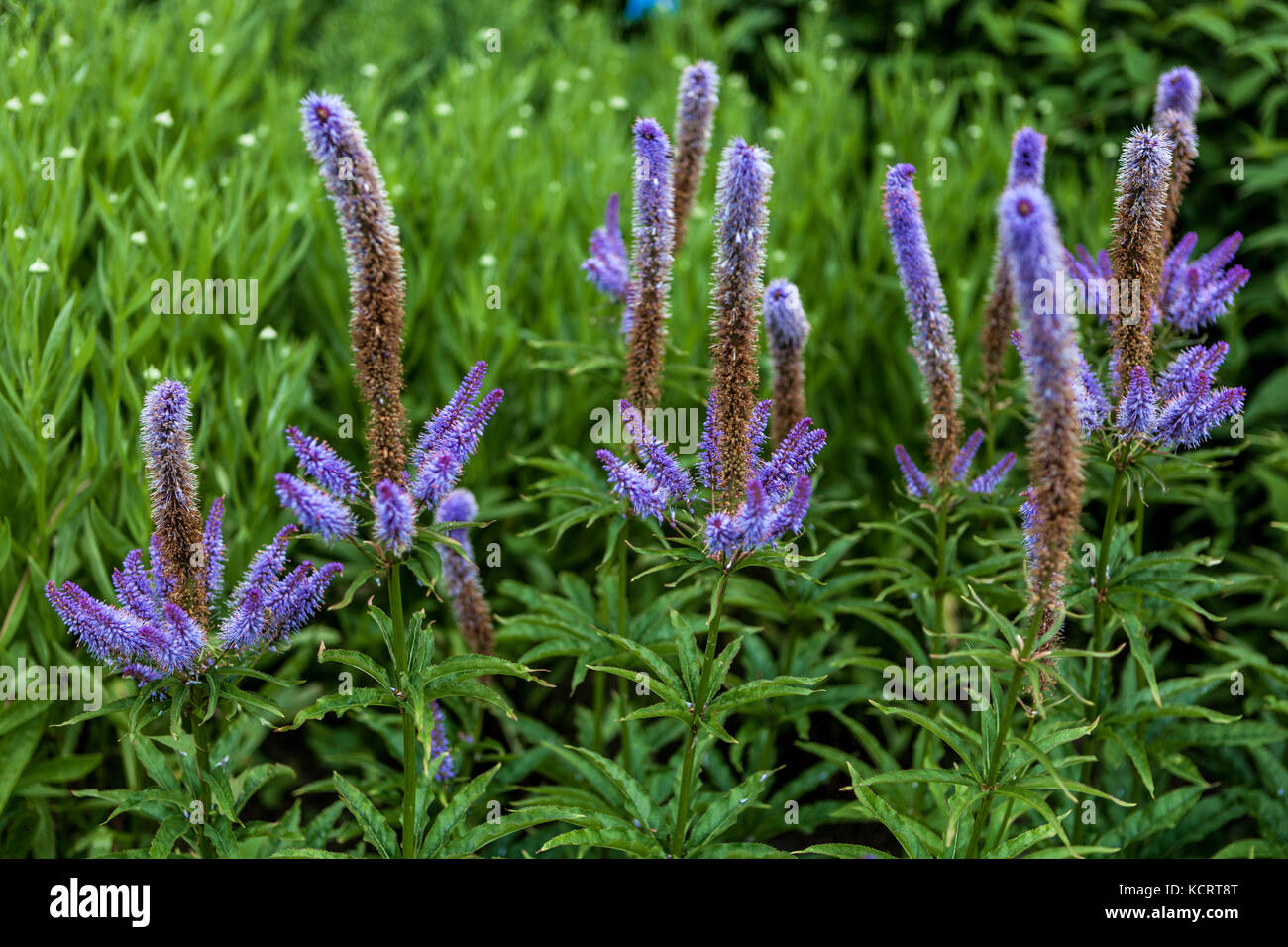 Veronicastrum sibiricum ' Red Arrows ' - Stock Image