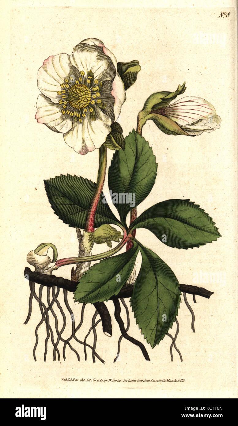 Christmas rose or black hellebore, Helleborus niger. Handcolured copperplate engraving after a botanical illustration Stock Photo