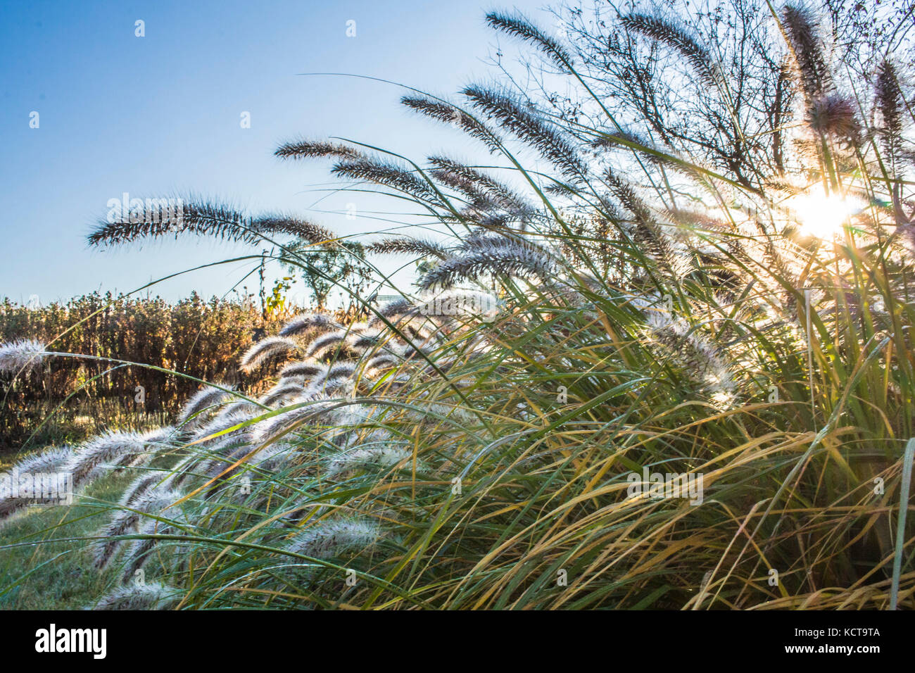 Early morning sun filters through fountain grass in a garden creating a starburst with a corn field behind. Stock Photo