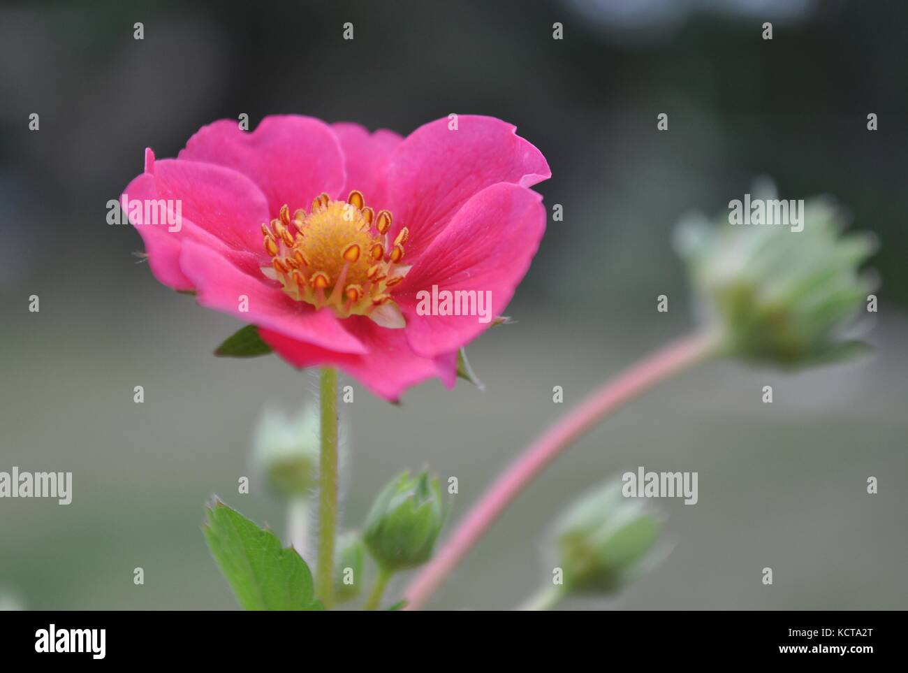 Blooming pink strawberry flower detail with copy space and blurred background. - Stock Image