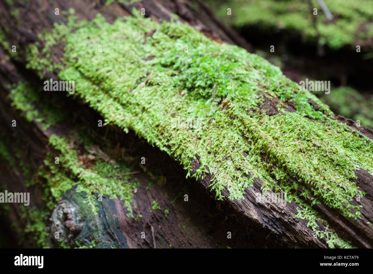Moss on fallen timber. Lot 353 Hickory Road. Rainforest Trust Australia. Cow Bay. Daintree National Park. Queensland. - Stock Image
