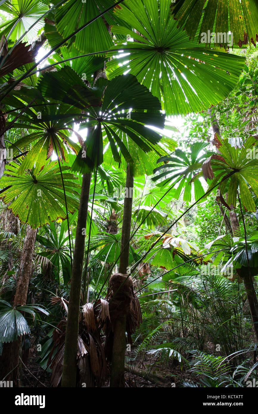 Australian Fan Palms (Licuala ramsayi). Lot 353 Hickory Road. Rainforest Trust Australia. Cow Bay. Daintree National - Stock Image