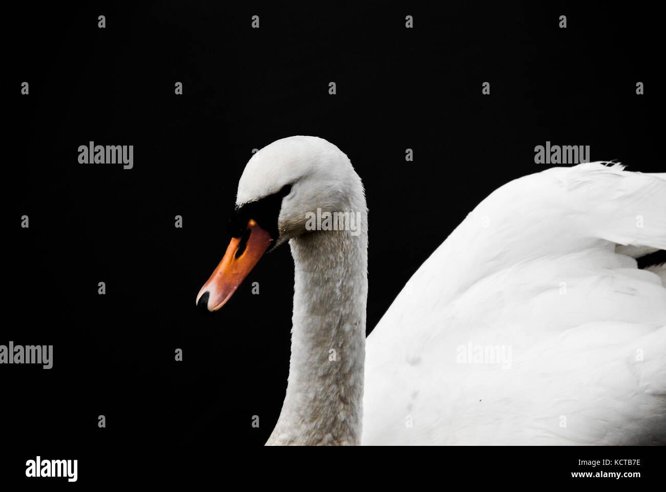 Swan - Stock Image