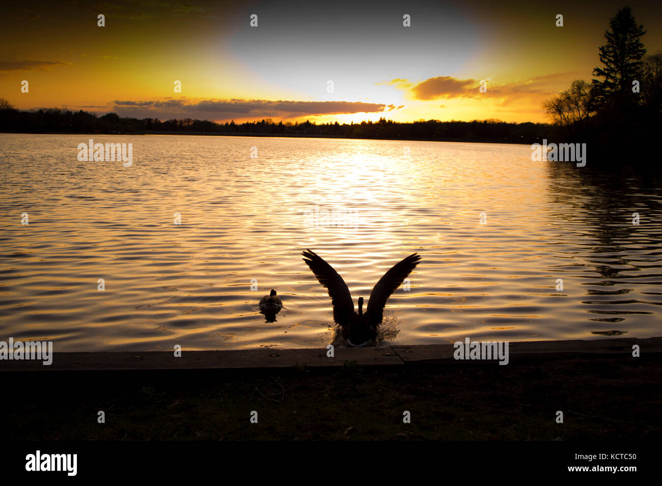 canadian wild Goose/Geese swimming in lakes and rivers with the sunset behind, geese couples swimming, parejas de - Stock Image