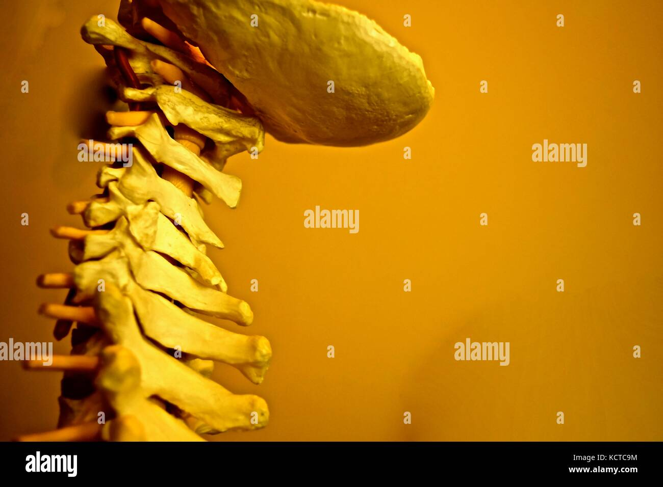 Who's hasn't seen this replica of a spinal cord at their chiropractor's office? It shows proper alignment - Stock Image