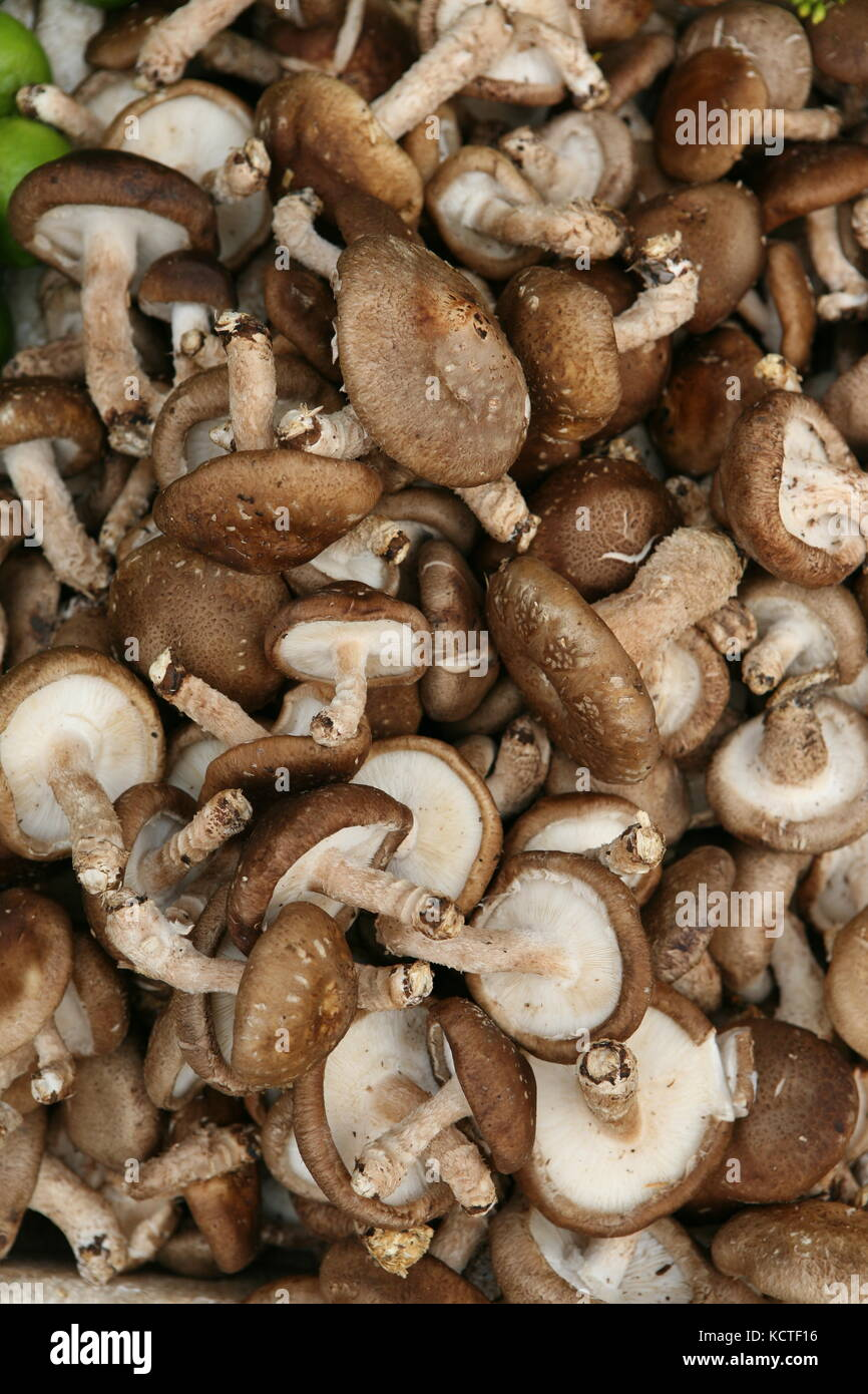 Asiatische Pilze - Shiitake Pilz - Lentinula edodes - Stock Image