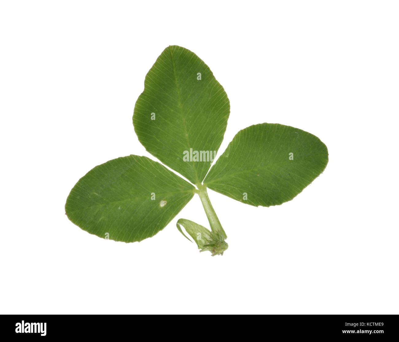 Alsike Clover - Trifolium hybridum Stock Photo