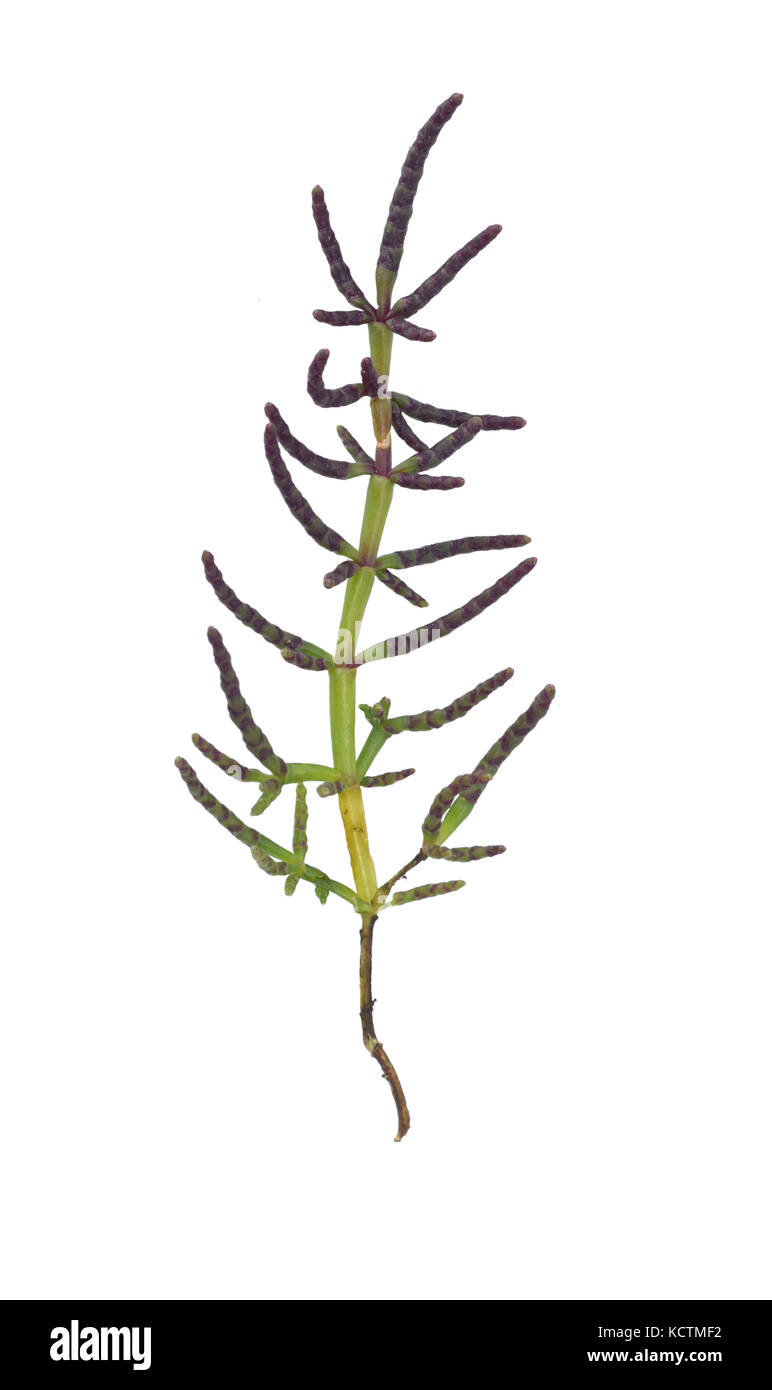 Perennial Glasswort - Salicornia europaea Stock Photo